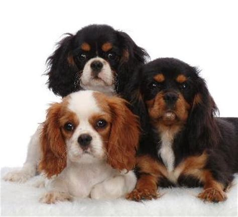 cavalier puppy what to do when your cavalier king charles puppy comes home