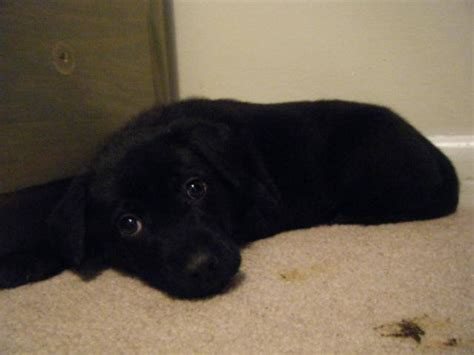 black lab puppies for free blooded black lab puppies for sale adoption from greenwood south carolina