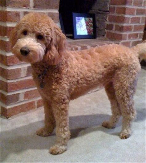 how to cut a goldendoodles hair google image result for http www goldendoodles net