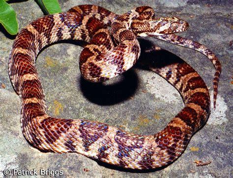 grey diamond pattern snake grey snake with diamond pattern pictures to pin on