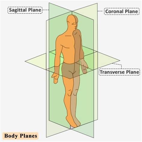 sagittal section definition best 25 sagittal plane ideas on pinterest