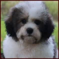 half maltese half shih tzu for sale shih tzu bichon mix puppies tashu the bichon frise shih tzu mix puppies daily