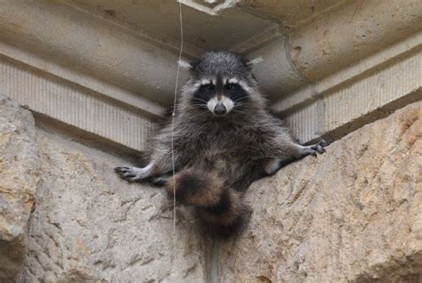 Raccoon Snatches Golfer's iPhone AppleMagazine