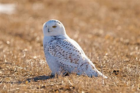 top 28 predators of the snowy owl why owls are so hoot