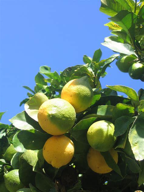 lemon tree care garden guides