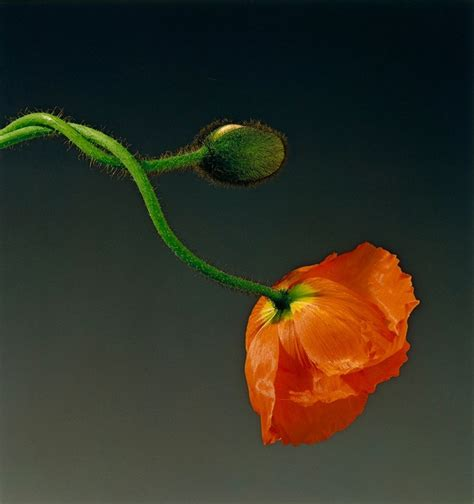 mapplethorpe fiori robert mapplethorpe s flowers another