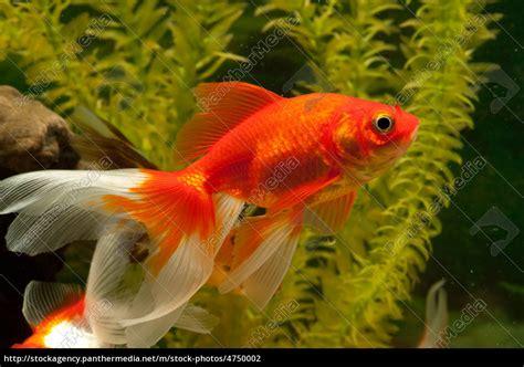 de colores carpa de peces de colores cyprinidae stockphoto