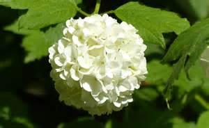 hortensia hydrangea fleur plantation entretien culture