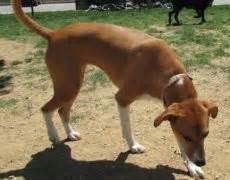 labbe puppies beagador beagle labrador mix info temperament puppies