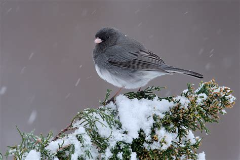 slate colored junco pin by jones on nature in the home grounds