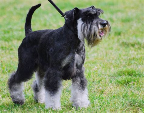 miniature schnauzer fun animals wiki videos pictures