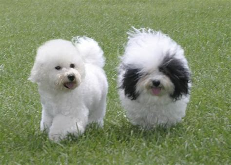 lifespan of bichon poodle pin havanese free wallpapers hd images on