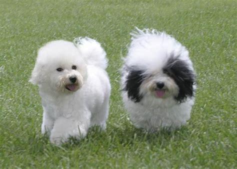 lifespan of bichon poodle bichon frise expectancy 40 background