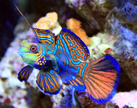 colorful saltwater fish fish wallpapers green mandarin fish photos