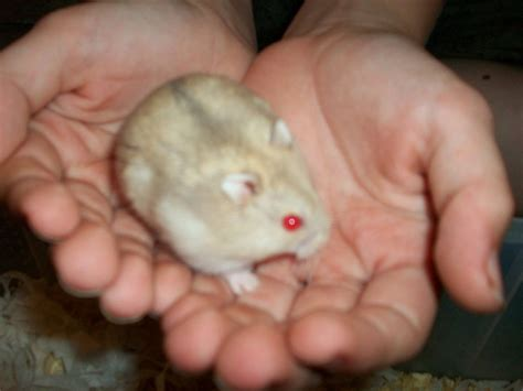 Cute Fancy Russian Dwarf Hamster   www.imgkid.com   The
