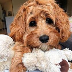 doxiepoo puppies 20 best doxiepoo images on animals puppies and adorable puppies