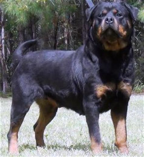 german rottweiler for sale german shepherd breeders german shepherd imports german shepherd breeds picture