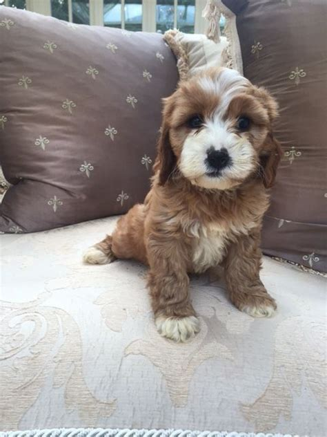 cavapoo puppies for sale missouri 1000 ideas about cavapoo for sale on cavapoo puppies for sale maltipoo