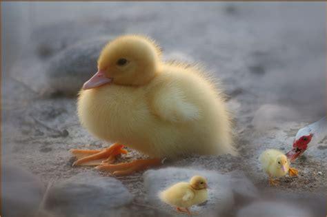 foto animali da cortile un pugno di tenerezza foto immagini animali animali