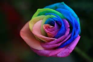 color roses rainbow roses are special flowers for the