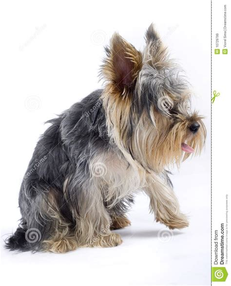 yorkie with legs puppy terrier with one leg in the air royalty free stock images image