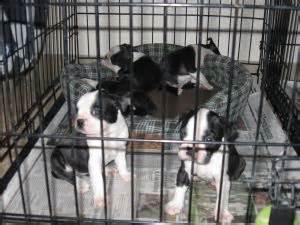 boston terrier puppies kansas boston terrier puppies in kansas