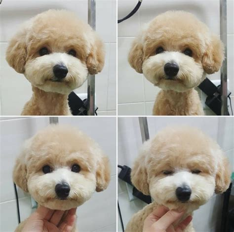 bichon poo haircuts 25 best ideas about maltipoo haircuts on pinterest