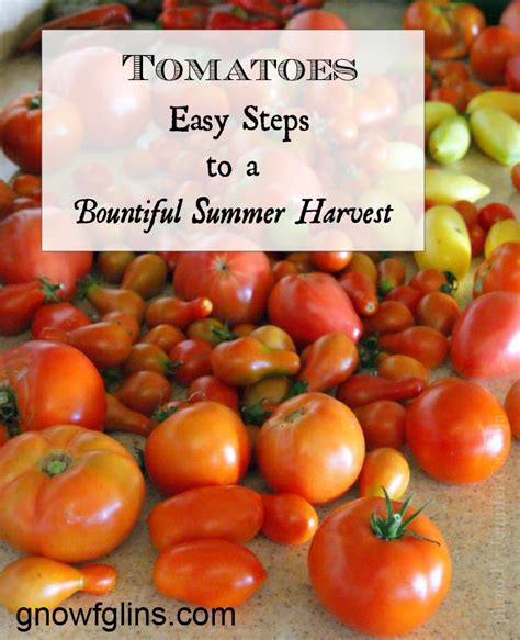 tomatoes have you heard of these tips and advice on tomatoes easy steps to a bountiful summer harvest