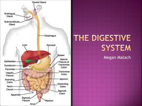 Ppt The Digestive System Powerpoint Presentation Id Digestive System Powerpoint