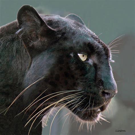 black leopard black leopard by larry linton