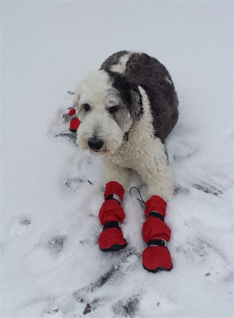 comfortable temperature for dogs how to care for dogs in cold weather during the winter