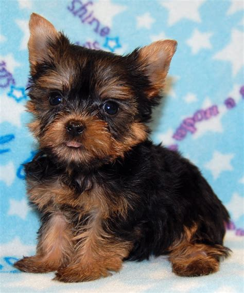 teacup yorkie shedding puppies coming soon