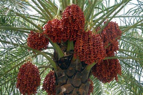 fruit dates all we need to about dates palm fruits beabeeinc