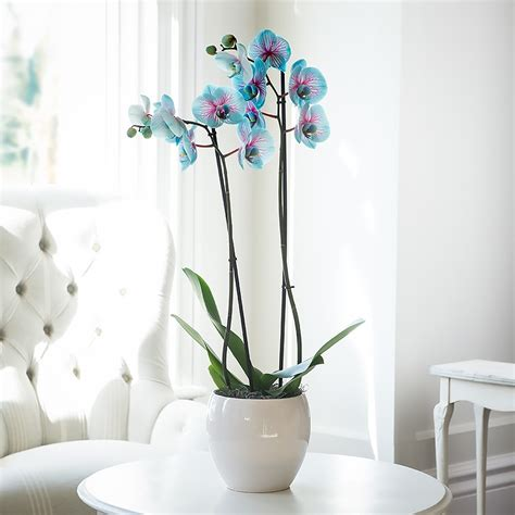 blue pink orchid plant indoor plants shop by range plants