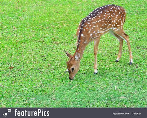 eats grass deer grass clipart clipartxtras