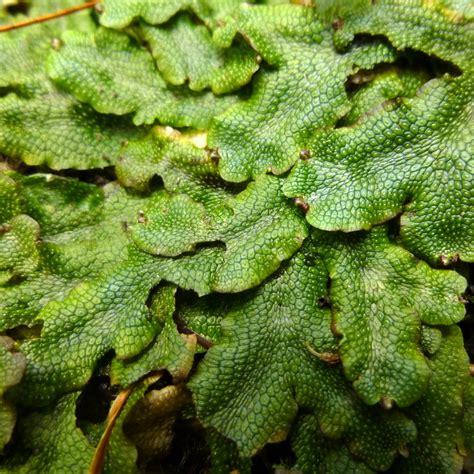 conocephalum conicum liverwort  hampshire garden