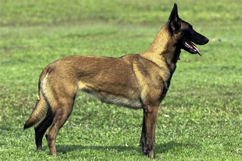 belgian dogs belgian malinois all big breeds