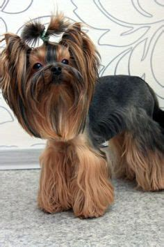 yorkshire terrier haircuts instructions explore yorkie haircuts pictures and select the best style