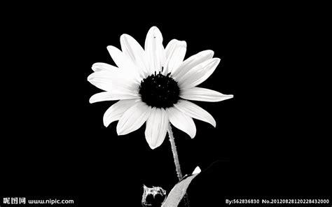 themes in photography black and white 黑白雏菊摄影图 花草 生物世界 摄影图库 昵图网nipic com