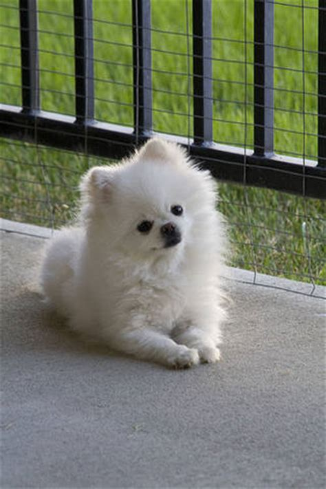 white pomeranian puppies for free white pomeranian puppies for sale for sale adoption in singapore adpost