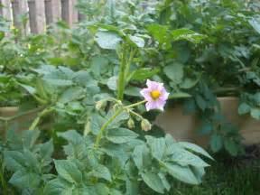 potato plants bloom potato plants flower fruit