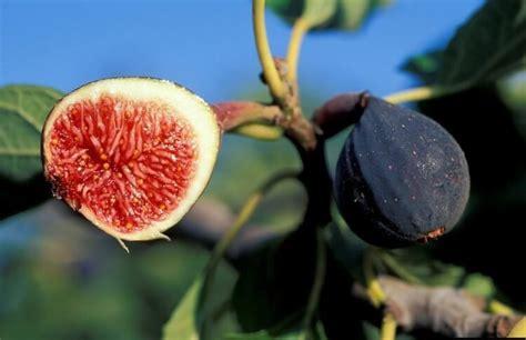 manfaat buah tin  daunnya bagi kesehatan