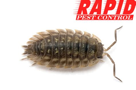 sow bugs control london ontario sow bug removal london