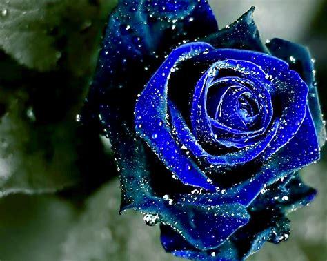wallpaper flower rose blue beauty blue rose flower wallpaper wallpaper me