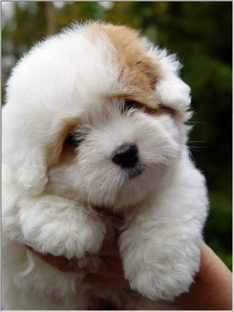 fluffy puppys 17 best ideas about fluffy puppies on fluffy puppies adorable