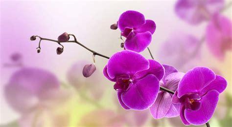 imagenes hermosas de orquideas 21 flores hermosas para regalar y sorprender a una mujer