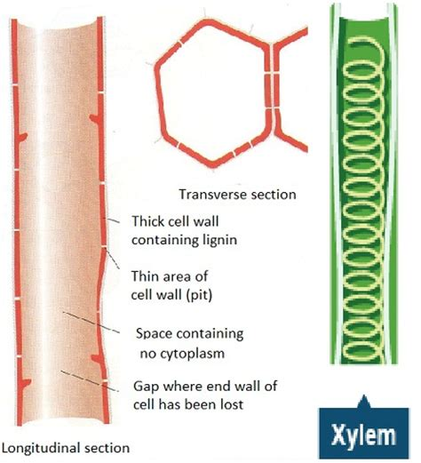Xylem Diagram