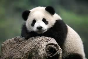 foto gambar panda lucu 25 lu kecil