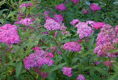 top 28 spirea varieties pictures spiraea japonica
