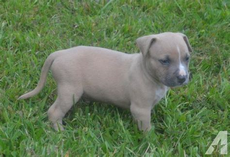 bully puppies for sale in ga american bully puppies for sale in blue ridge classified americanlisted